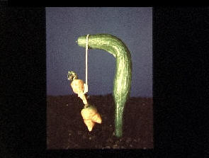 A carrot hanging from a Gibbet made from a bent cucumber
