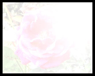 Over exposed photo of a rose